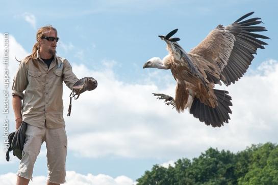 Un grand vautour rejoint son dresseur.