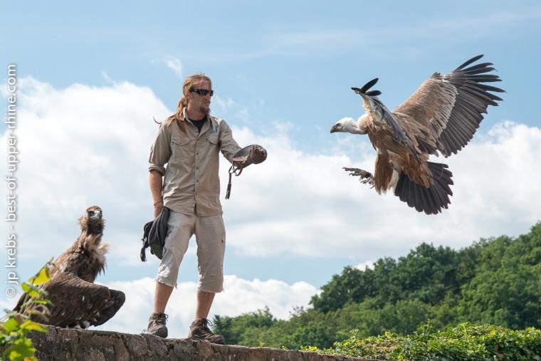 Un grand vautour rejoint son dresseur. Spectacle de rapaces en vol. Volerie des Aigles à Kintzheim.