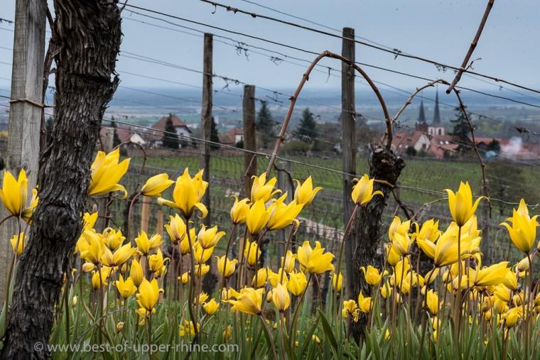 Tulipes sauvages, tulipa sylvestris, sur le Zotzenberg à Mittelbergheim