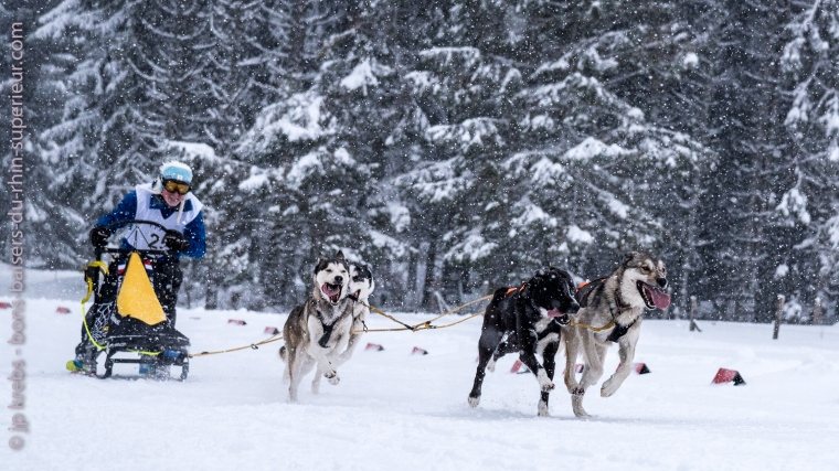 Sprint final d'un attelage de chiens de traîneau