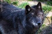 Avec la meute des loups noirs du Parc Animalier de Sainte-Croix