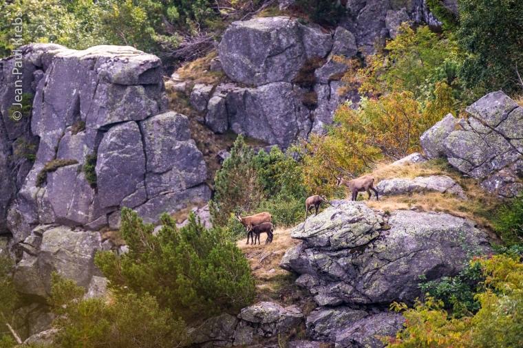 Groupe de chamois au-dessus du lac Blanc.